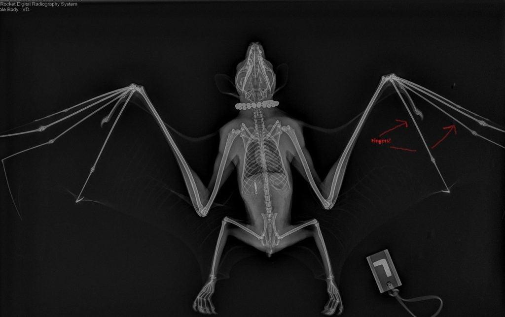 radiograph of bat