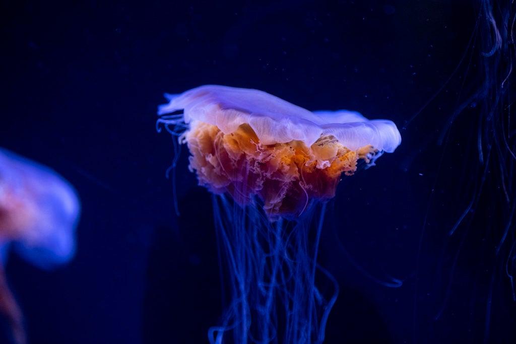 Jellyfish.