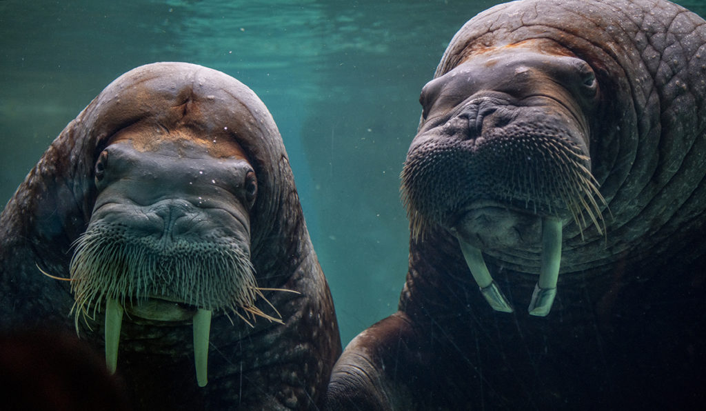 two walrus faces
