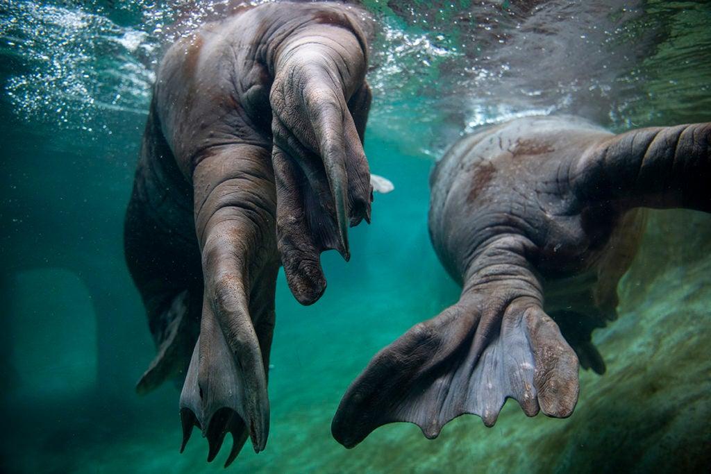 two walruses swimming away