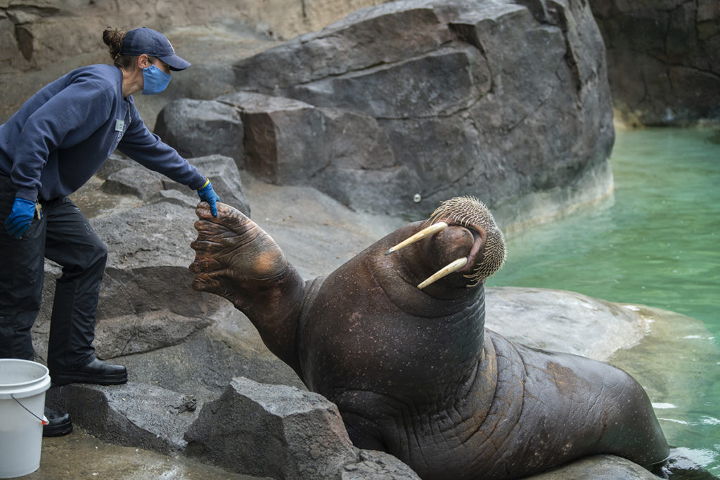 walrus and keeper