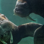 two walruses touching flippers