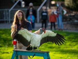 keeper talk with wild wonders vulture