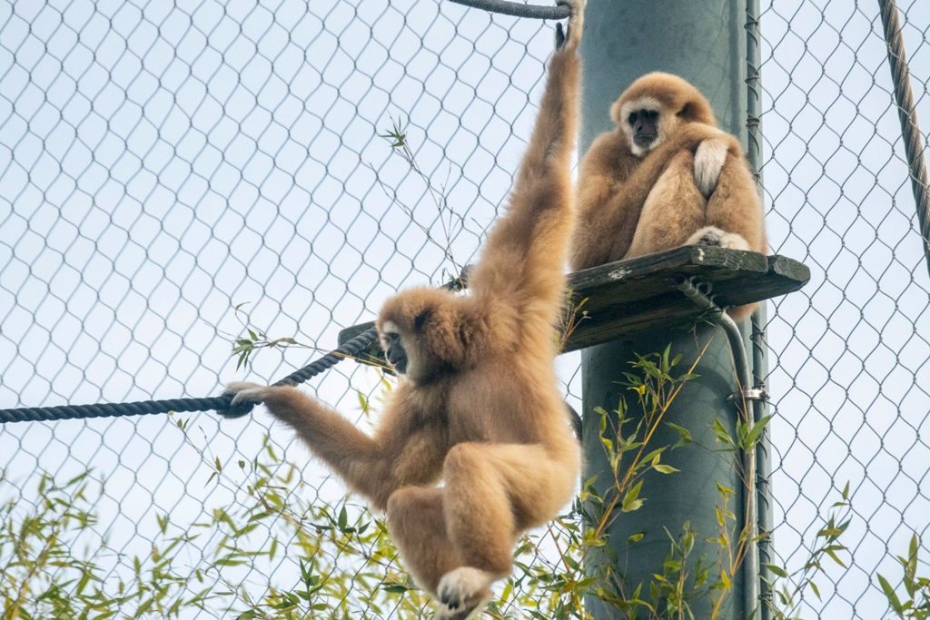 two lar gibbons