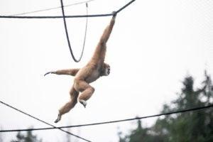 lar gibbon swinging