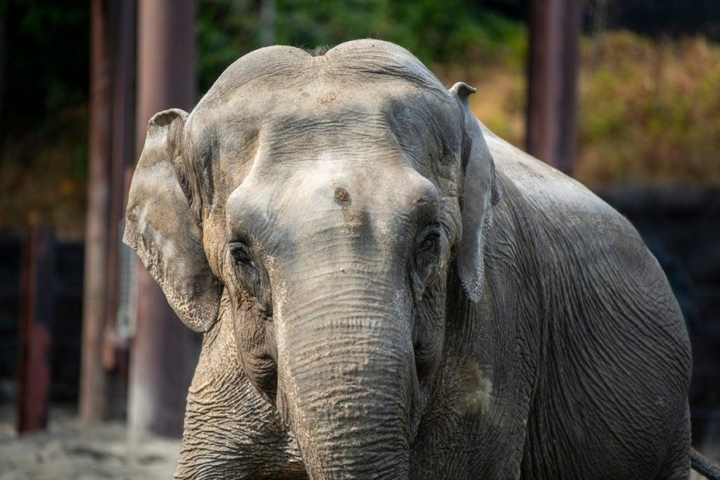 elephant Suki