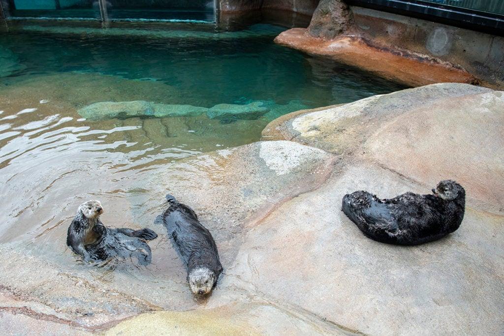sea otter surgery three otters