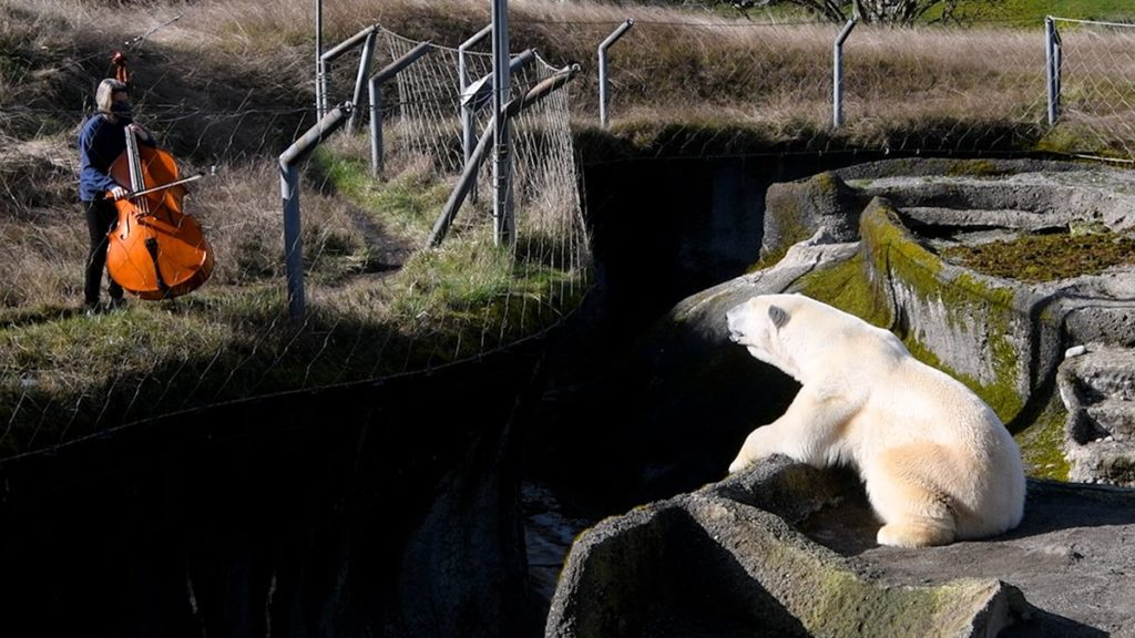 woman plays bass for polar bear, polar bear stares back at her
