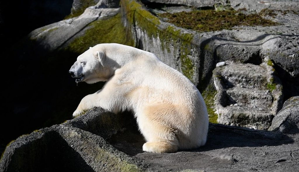 polar bear with eyes closed, sitting in the sunshine