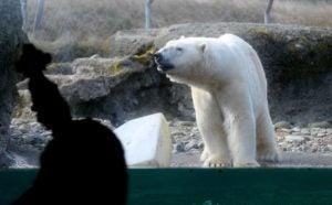 woman plays bass behind glass for polar bear, polar bear sniffs the morning air