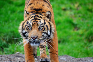 Sumtran tiger Bandar