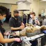 Chester undergoes procedure at OSU