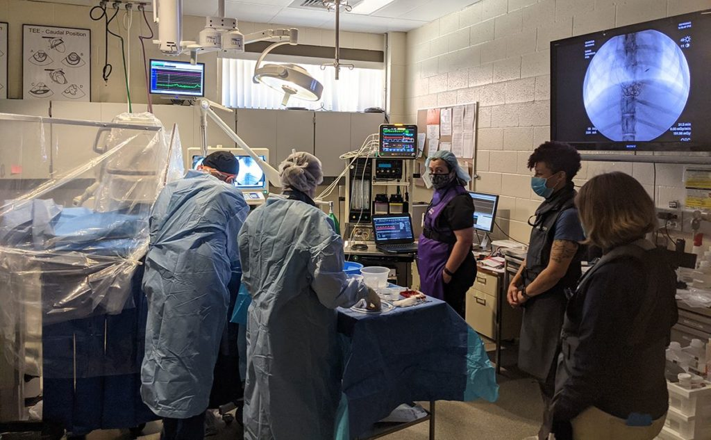 team of doctors working on Chester the red wolf