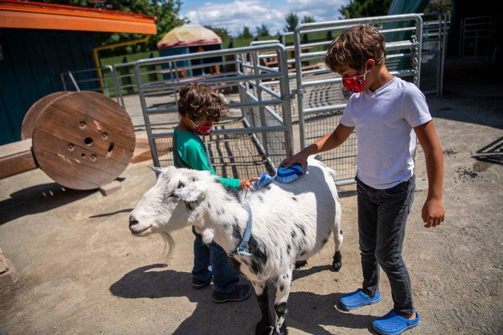 kids brushing goat