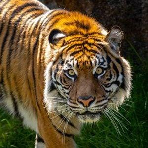 Indah the tiger