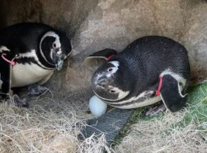 penguins keep eggs warm