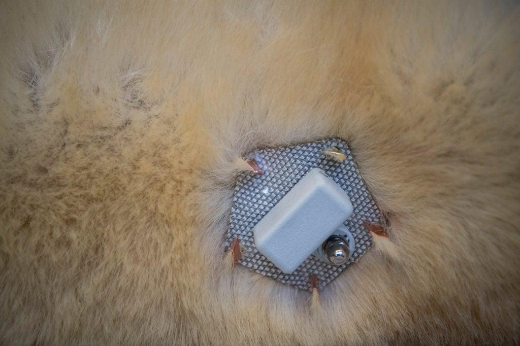 tracker placed on polar bear
