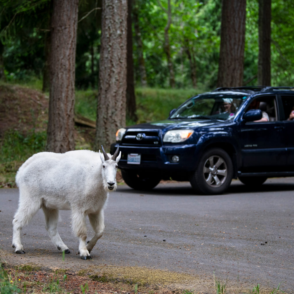 car drives near mountain goat