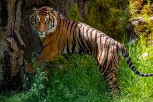 raja tiger by tree