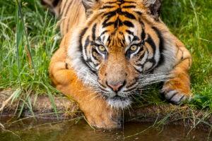 raja tiger by pool