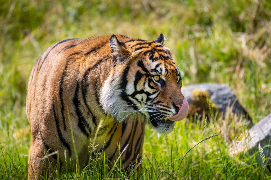 raja tiger tongue out