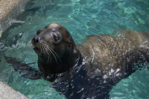 bjorn the sea lion in water