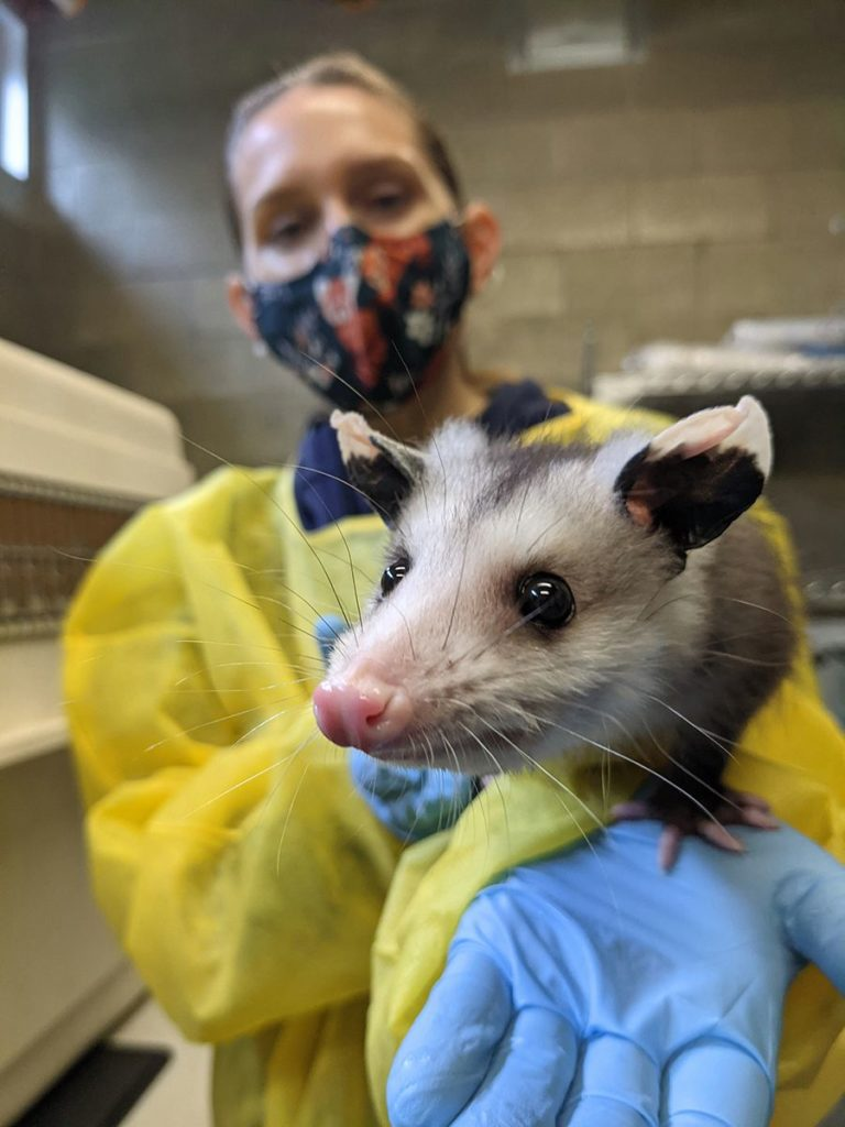 Ernie the opossum behind-the-scenes with a keeper.