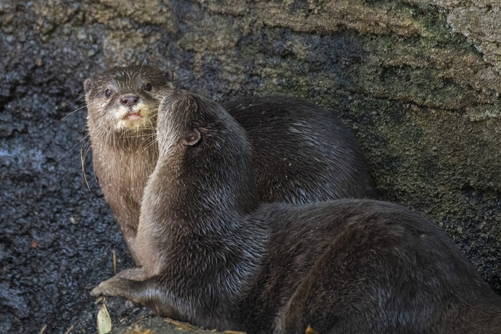 Asian otters kissing