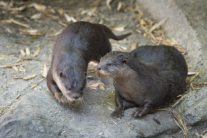 two small-clawed otters