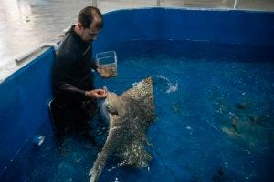 aquarist Tyler feeding eagle ray