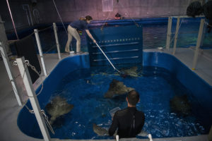aquarists get rays into iso pool