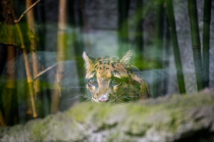 clouded leopard Jao Ying behind leaves