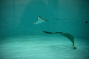 eagle ray pup in pool