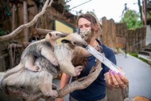 keeper Jessie feeding tamandua and pup
