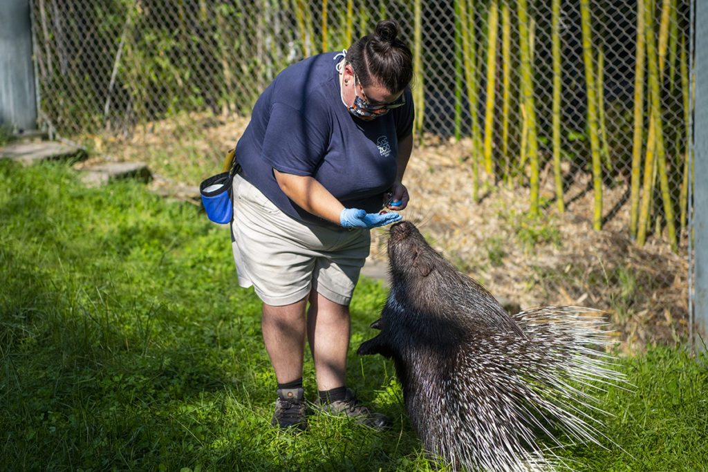 keeper Sam rewards Whitie porcupine