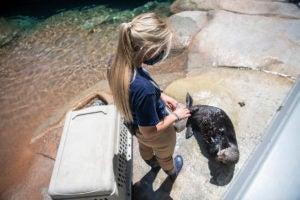 keeper Stephanie trains Sekiu otter