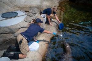 eepers Stephanie Sheriden train Bjorn sea lion