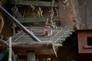 pouched rat training on bridge