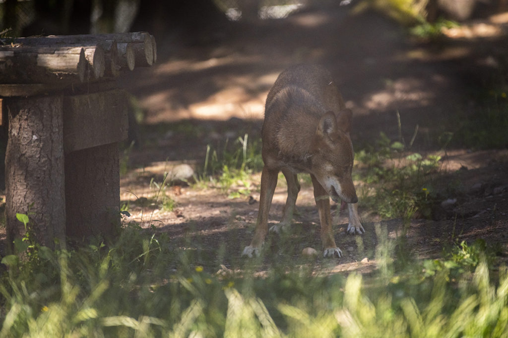 red wolf in sunlight