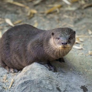 small-clawed otter.