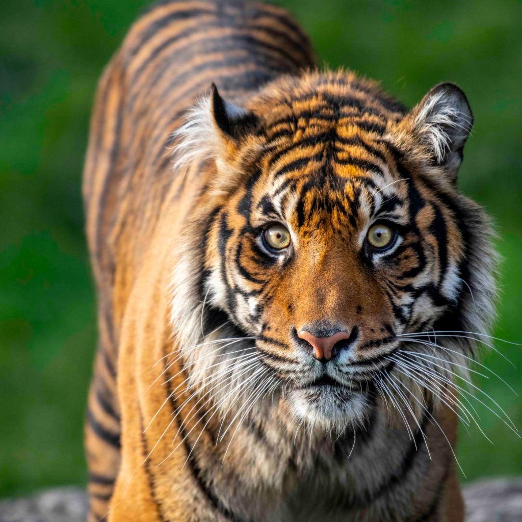 Kirana tiger