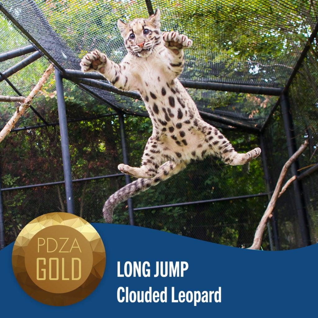 long jump clouded leopard