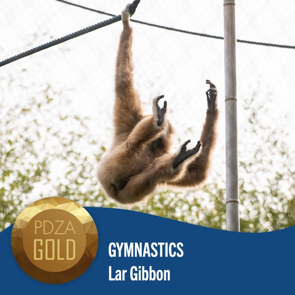 gymnastics gibbon