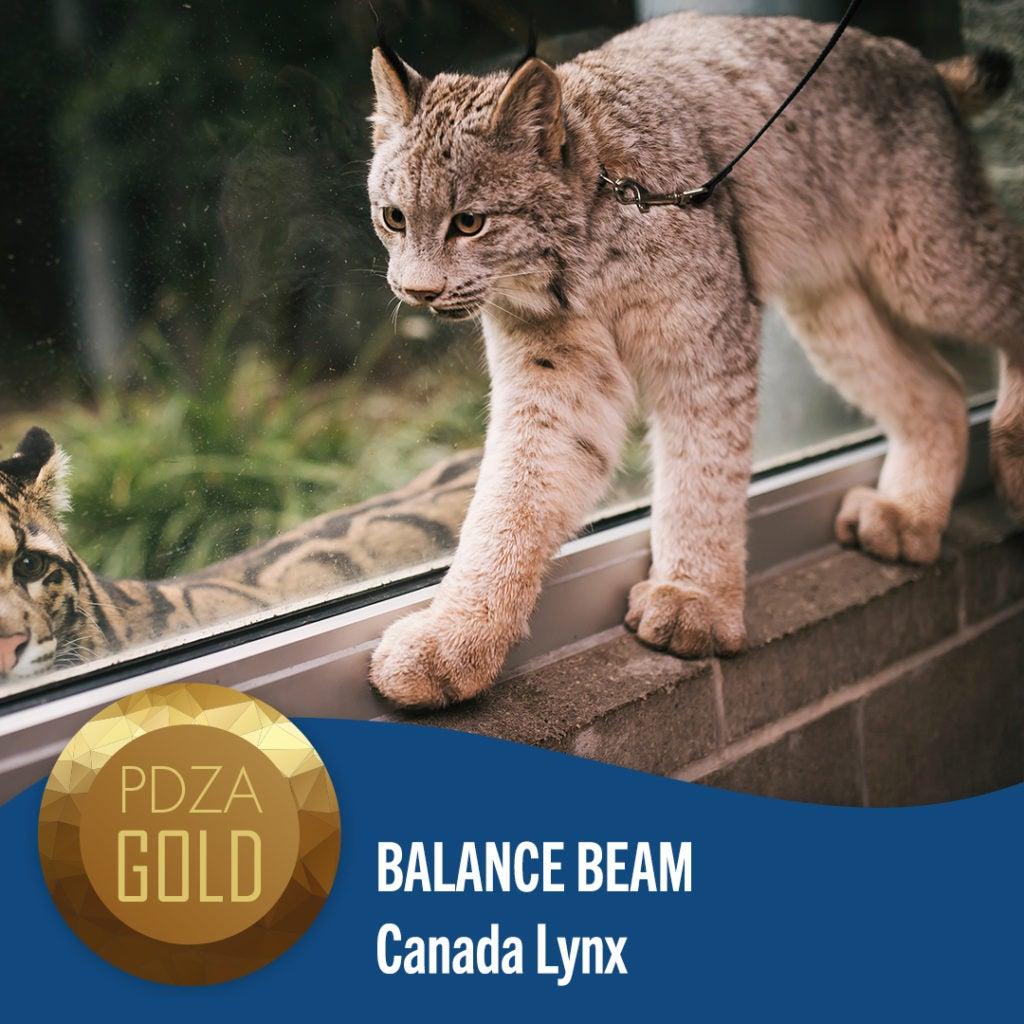 balancing lynx