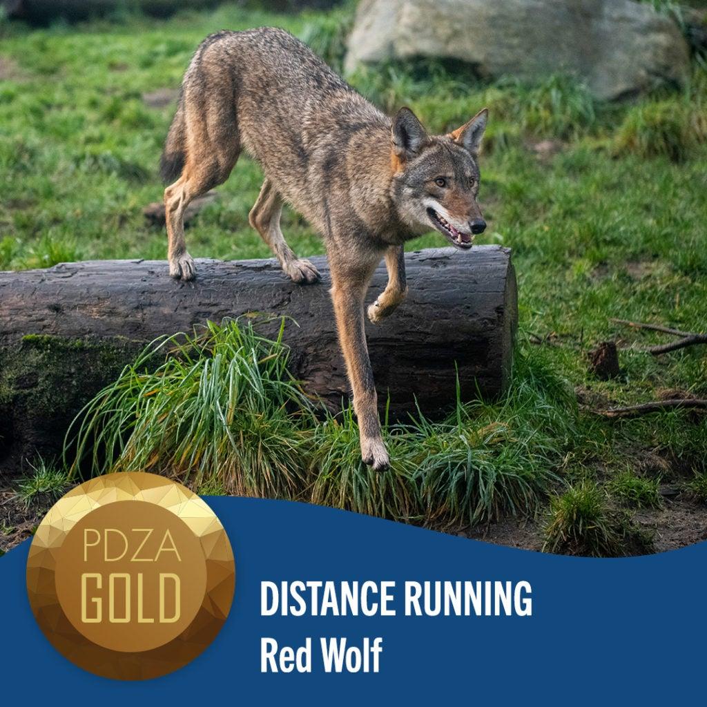 distance running red wolf