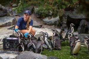 keeper feeding penguins Kelsey