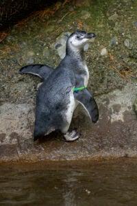 penguin chick Rio climbing
