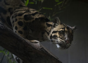 clouded leopard chee wit
