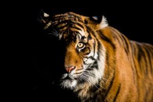 tiger kirana