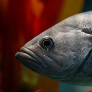 rockfish lips